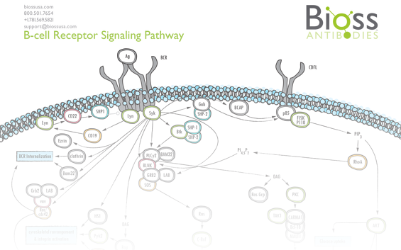 bcell_signaling_pathway.png