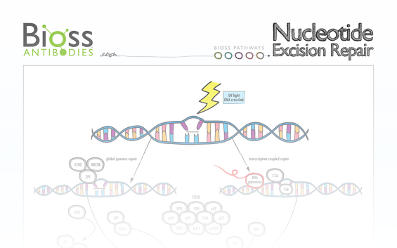 nucleotide_excision_repair_poster.png