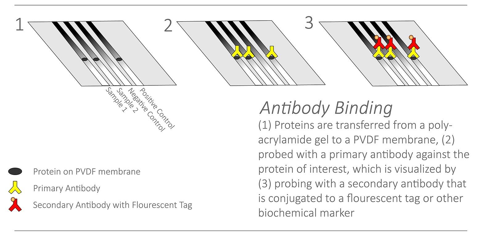 Antiobdy Binding for Western Blot